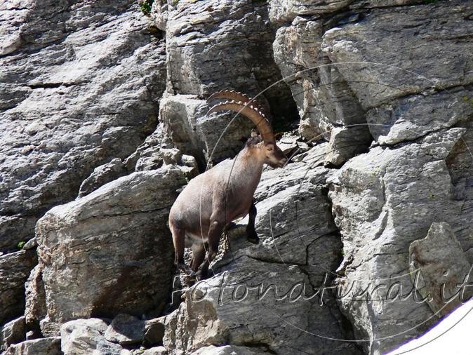 f2-alpine-ibex