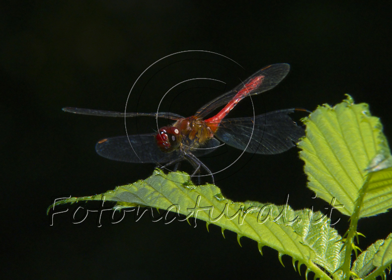 red dragonfly on a leaf