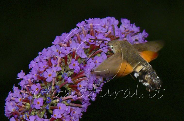 un bombo succhia il nettare di fiori lilla