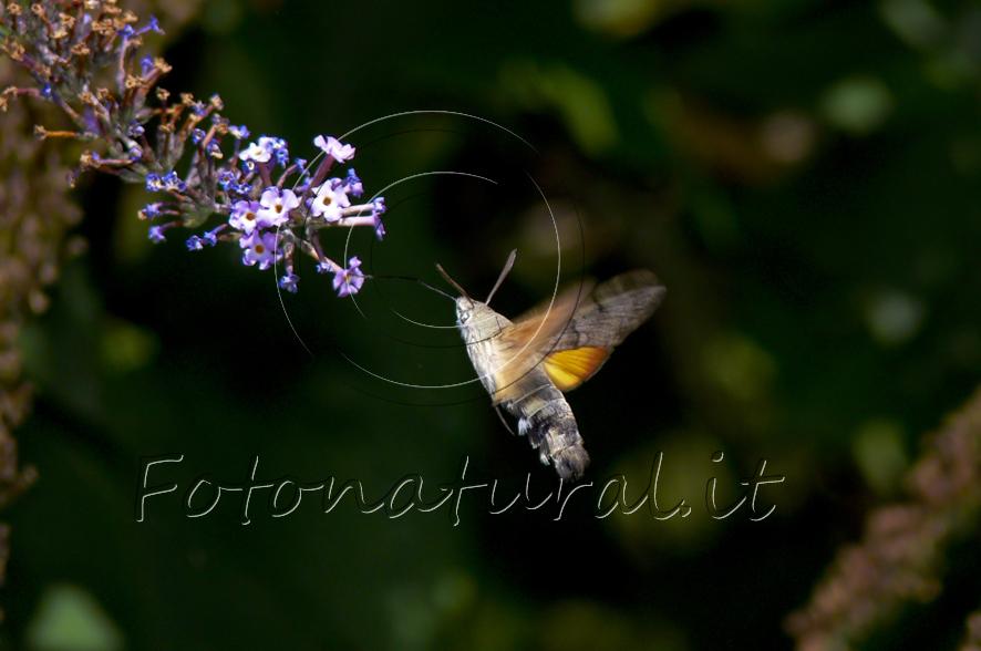 bombo che vola verso i fiori e il loro nettare