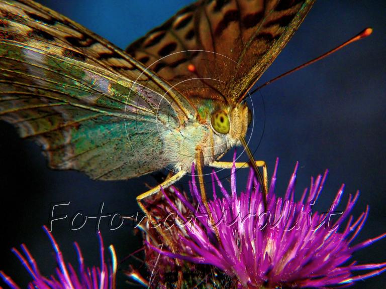 una farfalla con le zampe appoggiate ai petali ljlla-viola di un fiore di cardo