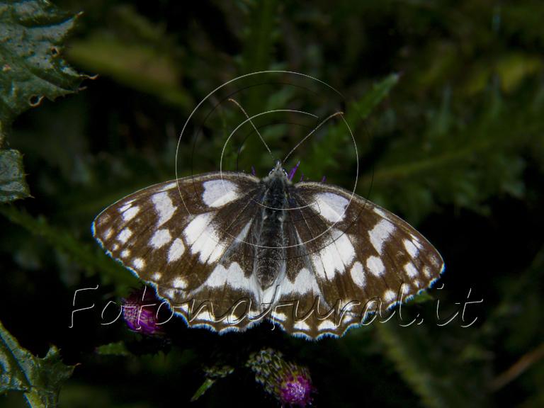 farfalla con le ali a macchie bianche posata su un ramo al crepuscolo