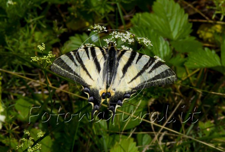 farfalla con le ali bianche e nere posata su fiori bianchi