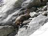 f1-alpine-ibex