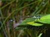 blue dragonfly on a leaf