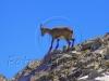 f3-alpine-chamois