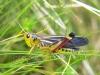 multicolor grasshopper