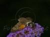 un bombo disteso sui fiori della buddleia