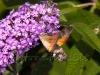 f42-bumblebee
