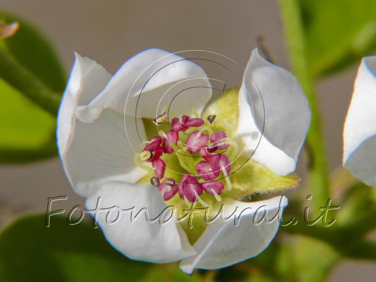 fiore bianco di melo che \'schiudendosi \' mostra il suo interno rosa e giallo