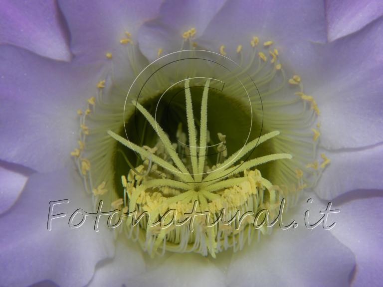 interno di un fiore lilla