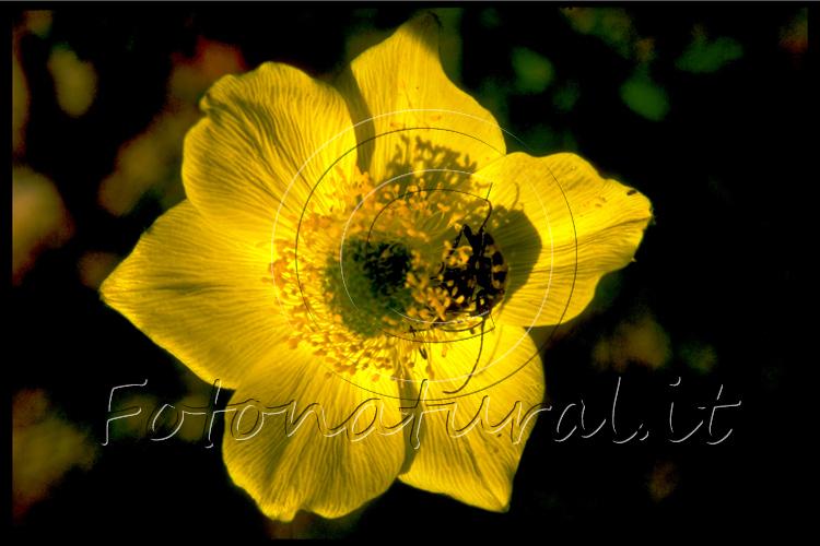 insetto su anemone giallo